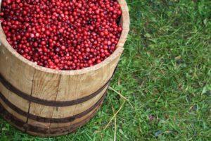 Хранение ягод клюквы