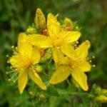 Лечение десен травяные отвары зверобой