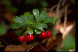 против алкоголизма отвар на основе листьев толокнянки