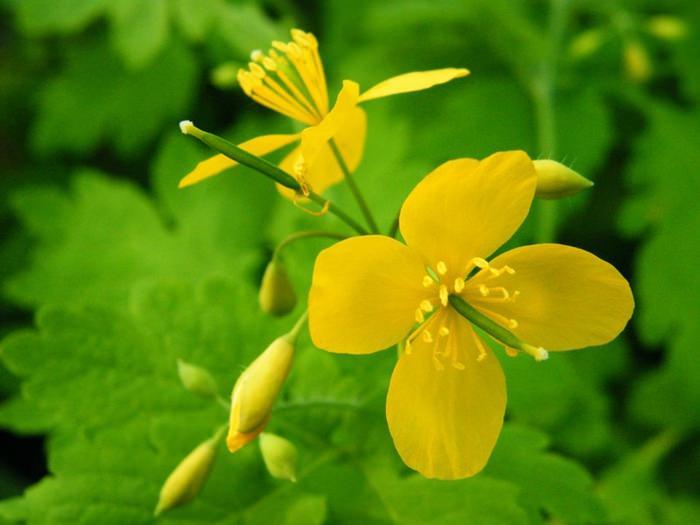 лечебные свойства голубики садовой