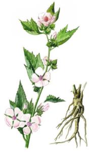 корень алтея от кашля