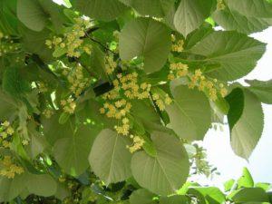 Для снижения уровня холестерина рекомендуется запастись высушенными липовыми цветочками