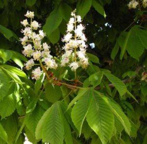 Лечение геморроя цветками конского каштана