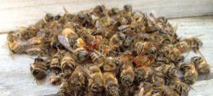 от аденомы пчелиный подмор