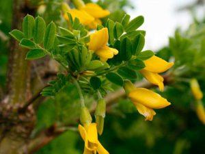 цветки акации при кисте яичника