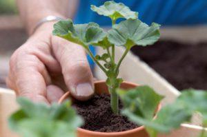 При отите поможет листок герани
